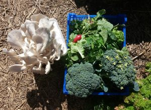 Harvest, Gandazwam, Bruno Van Haudenhuyse, Karina Marte, AJ, Brocoli, conuco, cosecha, jardin, ecogarden, ecotuin, moestuin, gent